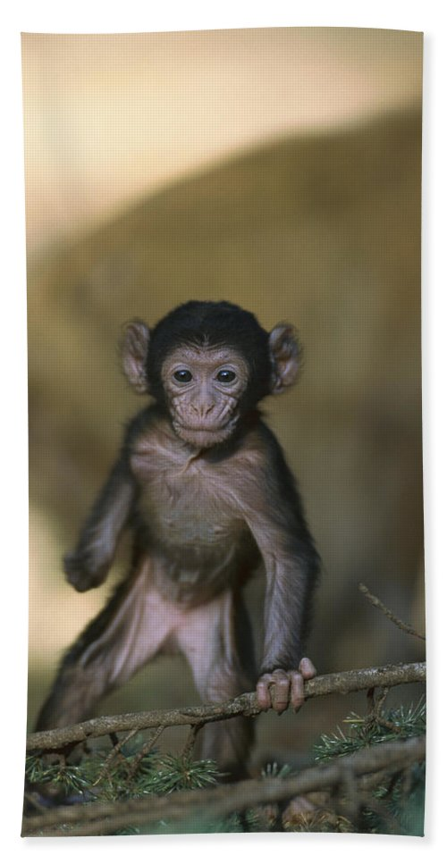 Mp Hand Towel featuring the photograph Barbary Macaque Macaca Sylvanus Infant by Cyril Ruoso