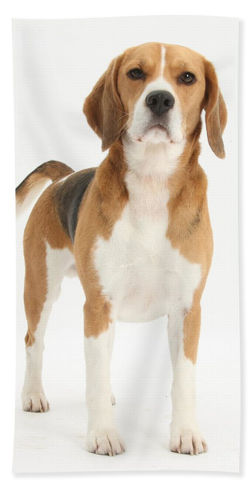 Nature Hand Towel featuring the photograph Beagle Dog by Mark Taylor
