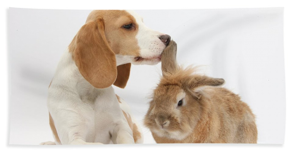 Nature Hand Towel featuring the photograph Beagle Pup And Rabbit by Mark Taylor