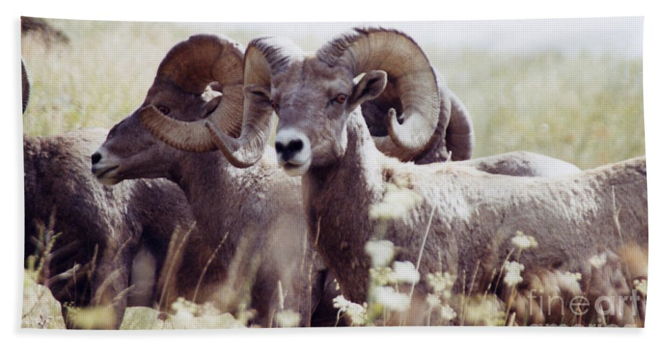 Nature Bath Sheet featuring the photograph Bighorn Sheep by Maili Page