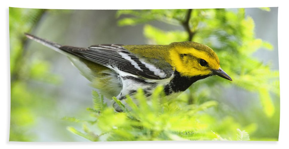 Doug Lloyd Hand Towel featuring the photograph Black-throated Green Warbler by Doug Lloyd