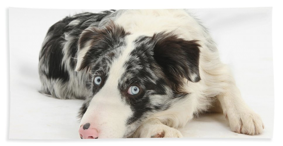 Dog Hand Towel featuring the photograph Blue Merle Border Collie by Mark Taylor