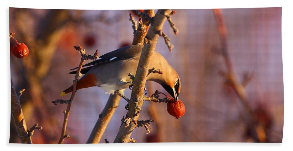 Alaska Hand Towel featuring the photograph Bohemian Waxwing by Doug Lloyd
