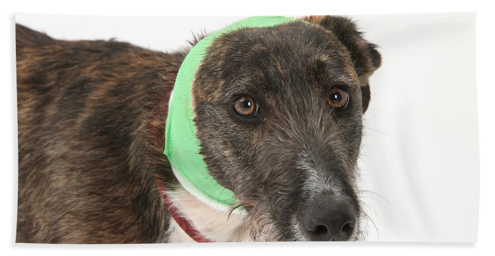 Nature Hand Towel featuring the Brindle Lurcher Wearing A Bandage by Mark Taylor
