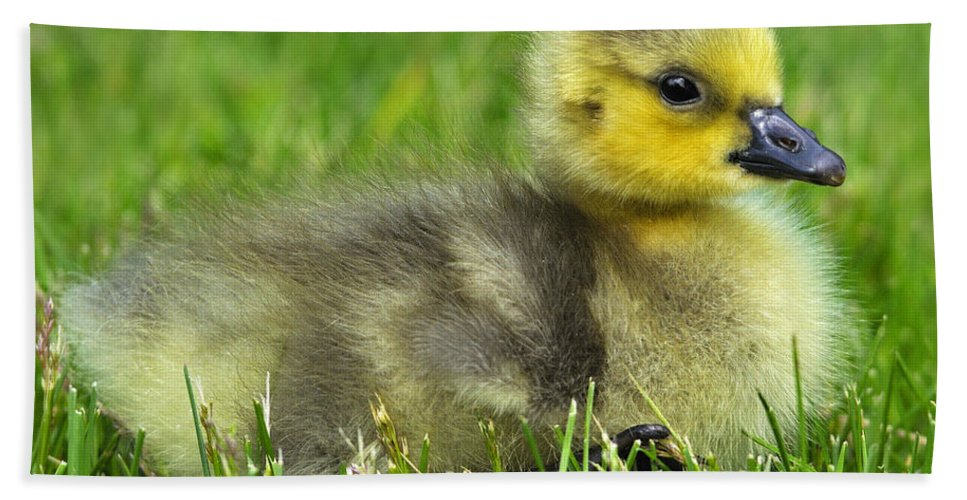Canada Goose Hand Towel featuring the photograph Canada Gosling by Tony Beck