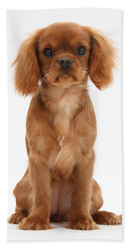 Animal Hand Towel featuring the photograph Cavalier King Charles Spaniel Puppy by Mark Taylor