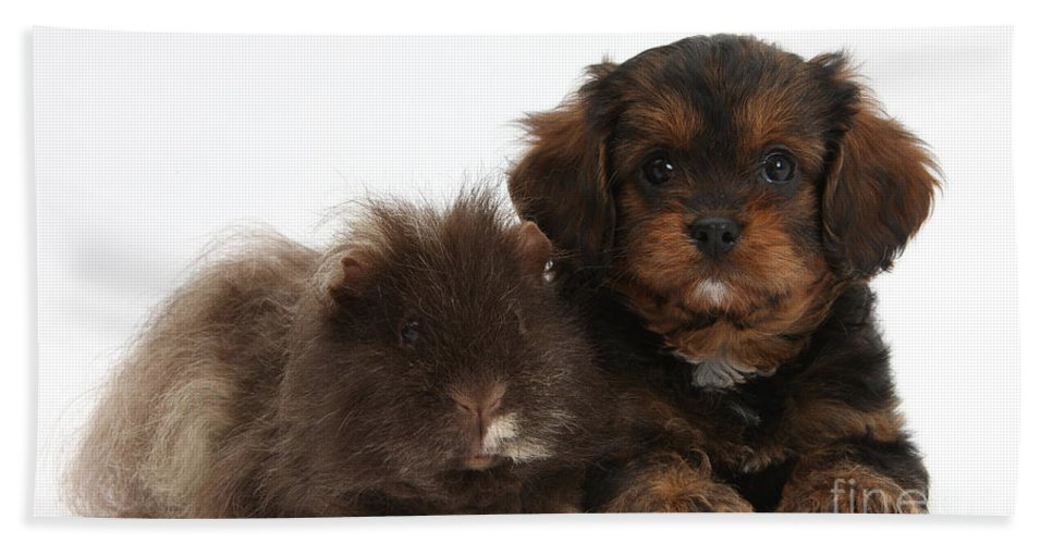 Nature Hand Towel featuring the photograph Cavapoo Pup And Shaggy Guinea Pig by Mark Taylor
