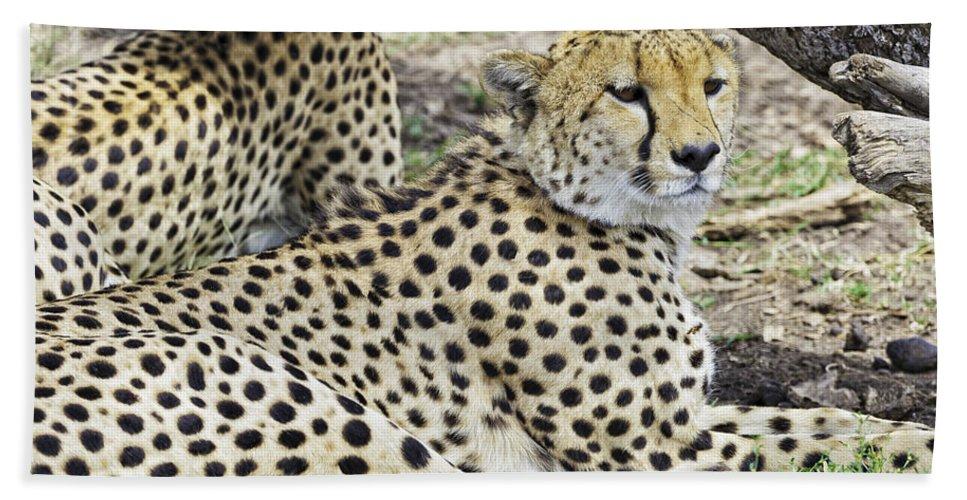 Africa Bath Sheet featuring the photograph Cheetahs Resting by Perla Copernik