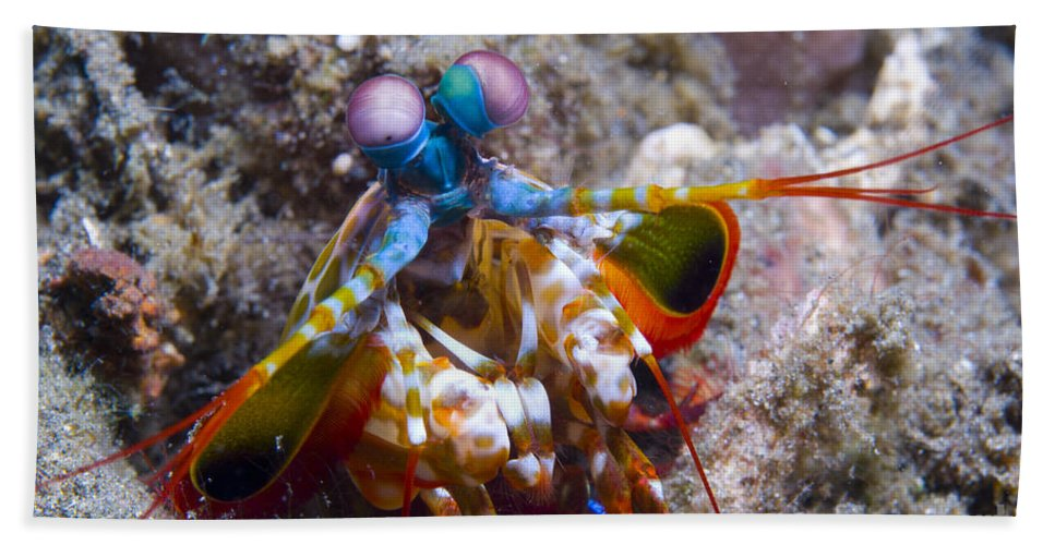 Invertebrate Bath Sheet featuring the photograph Close-up View Of A Mantis Shrimp, Papua by Steve Jones