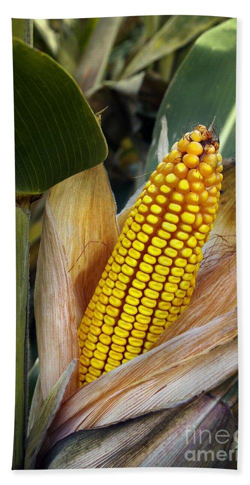 Agriculture Bath Sheet featuring the photograph Corn Cob by Carlos Caetano