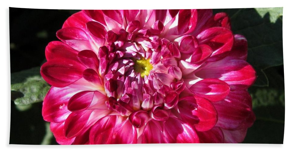 Dahlia Hand Towel featuring the photograph Dahlia Named Caproz Pizza by J McCombie