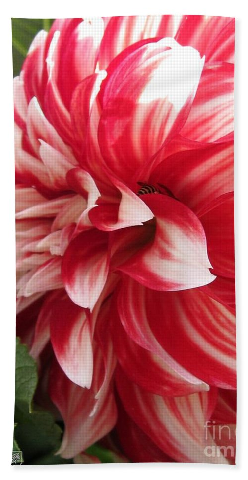 Mccombie Hand Towel featuring the photograph Dahlia Named Myrtle's Brandy by J McCombie