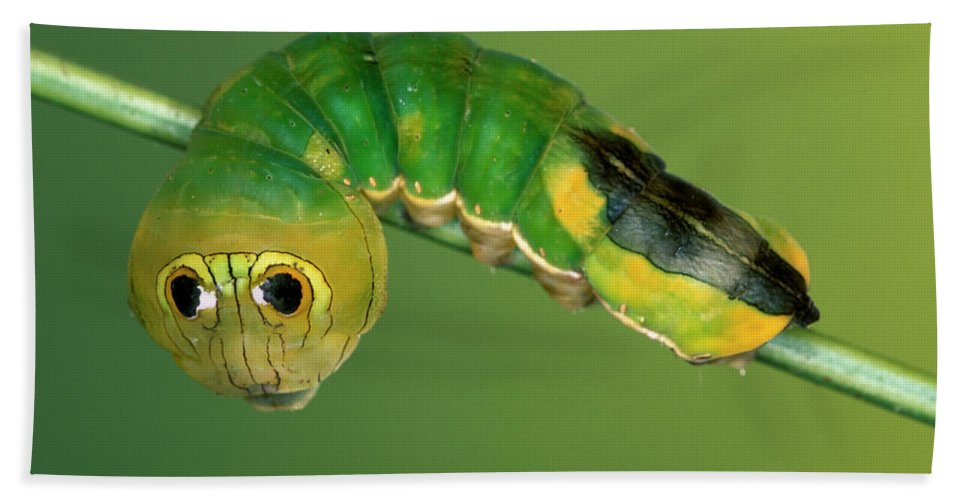 Fn Hand Towel featuring the photograph Dead-leaf Moth Oxytenis Modestia by Ingo Arndt