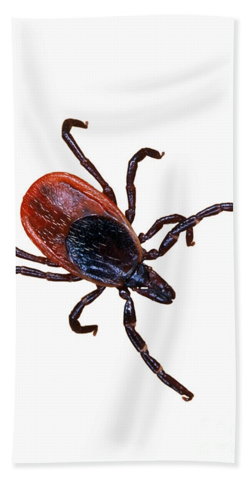 Animal Hand Towel featuring the photograph Female Blacklegged Tick by Science Source