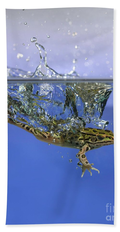 Animal Hand Towel featuring the photograph Frog Jumps Into Water by Ted Kinsman