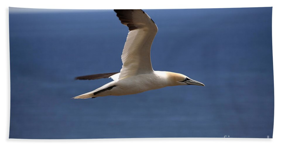 Northern Gannet Hand Towel featuring the photograph Gannet In Flight by Ted Kinsman