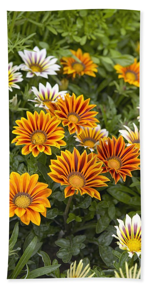 Vp Hand Towel featuring the photograph Gazania Gazania Rigens Flowers by VisionsPictures