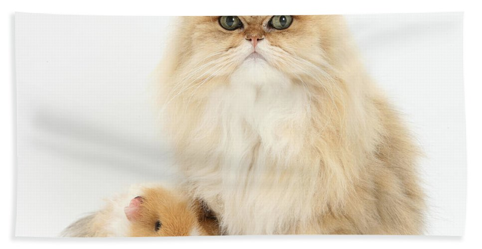 Nature Hand Towel featuring the photograph Golden Chinchilla Persian Cat by Mark Taylor