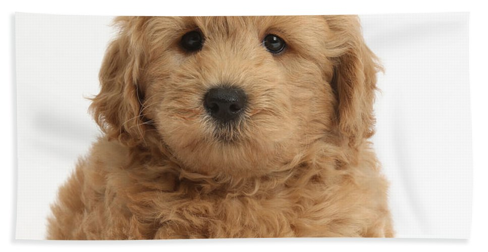 Nature Hand Towel featuring the photograph Goldendoodle Puppy by Mark Taylor