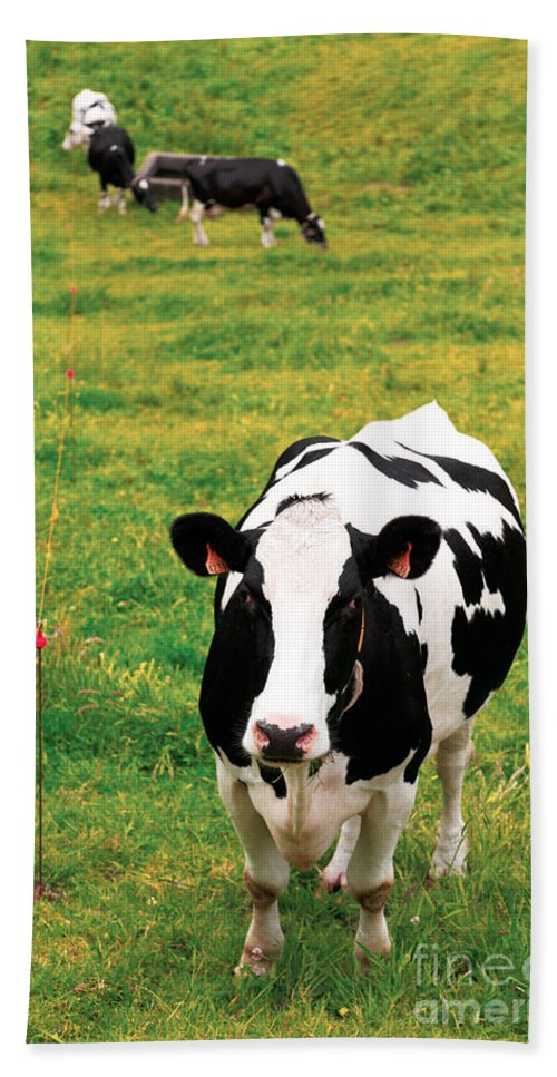 Cows Hand Towel featuring the photograph Holstein Dairy Cattle by Gaspar Avila