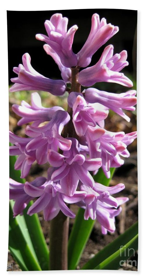 Hyacinth Bath Sheet featuring the photograph Hyacinth Named Splendid Cornelia by J McCombie