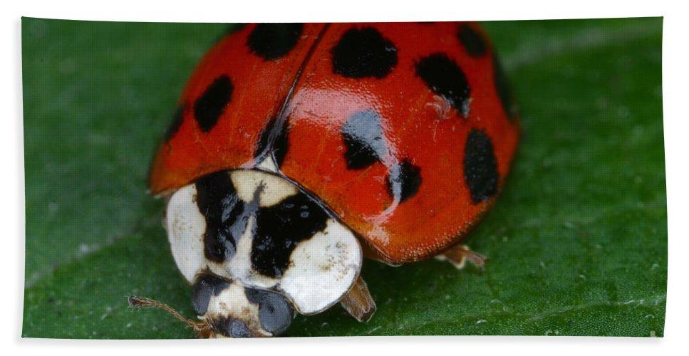 Ladybird Beetle Hand Towel featuring the Ladybird Beetle by Ted Kinsman
