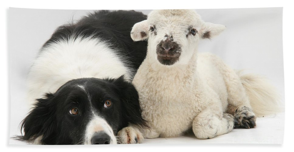 Lamb Hand Towel featuring the Lamb And Border Collie by Mark Taylor