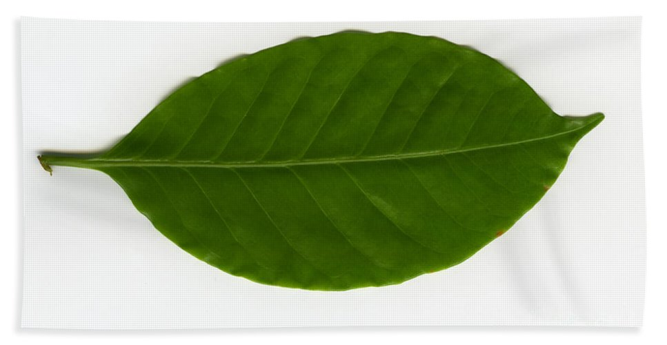 Plant Hand Towel featuring the Leaf Of A Coffee Plant Coffea Sp by Ted Kinsman