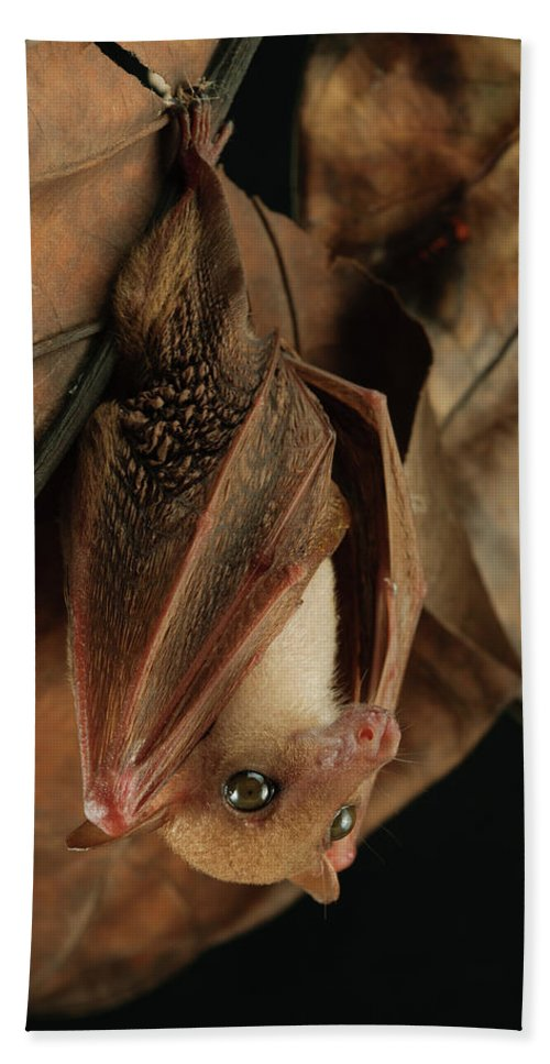 Mp Hand Towel featuring the photograph Lesser Long-tongued Fruit Bat by Ch'ien Lee