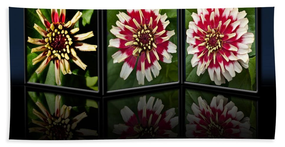 Zinnia Hand Towel featuring the photograph Life Of A Zinnia by Steve Purnell