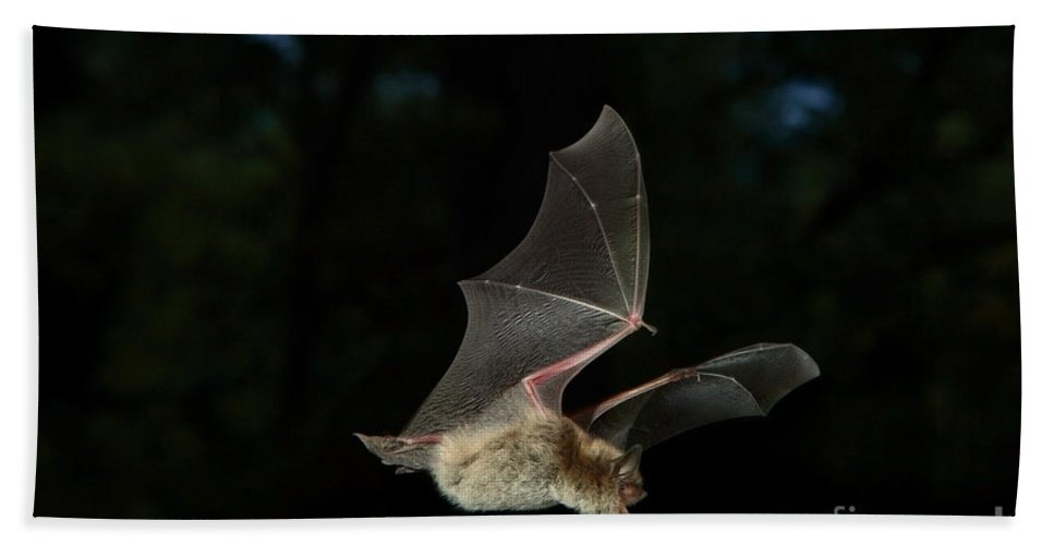 Fauna Hand Towel featuring the photograph Little Brown Bat by Ted Kinsman