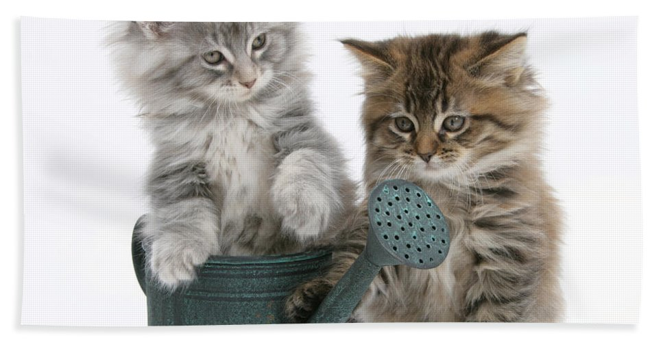 Animal Hand Towel featuring the photograph Maine Coon Kitttens by Mark Taylor