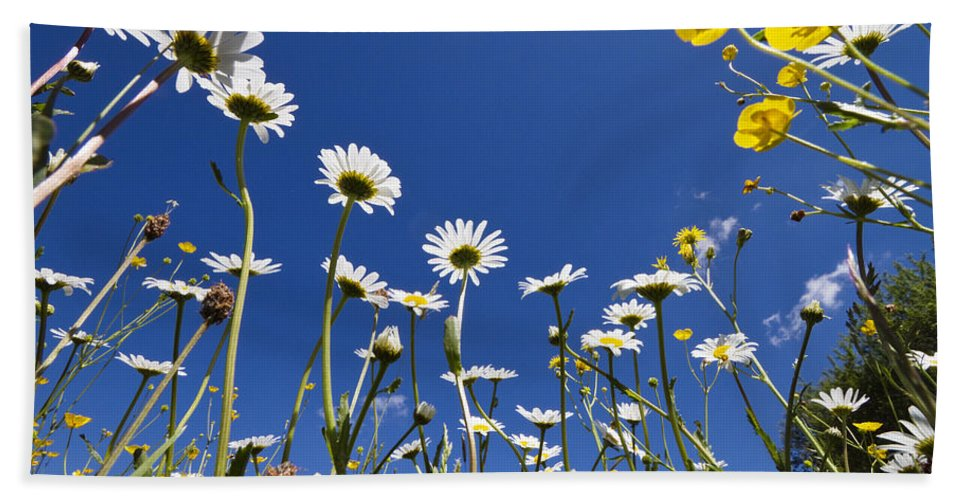 Mp Hand Towel featuring the photograph Marguerite Leucanthemum Vulgare by Konrad Wothe