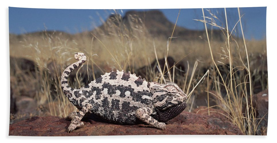 Mp Hand Towel featuring the photograph Namaqua Chameleon Chamaeleo Namaquensis by Michael & Patricia Fogden