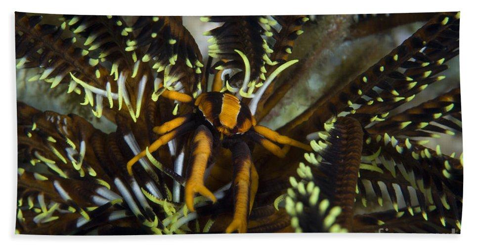 Allogalathea Elegans Bath Sheet featuring the photograph Orange And Brown Elegant Squat Lobster by Steve Jones