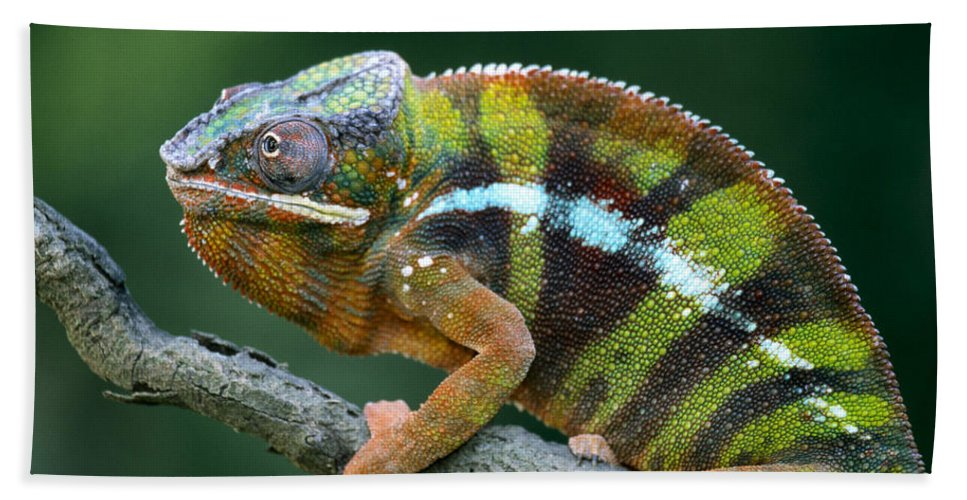 Fn Hand Towel featuring the photograph Panther Chameleon Chamaeleo Pardalis by Ingo Arndt