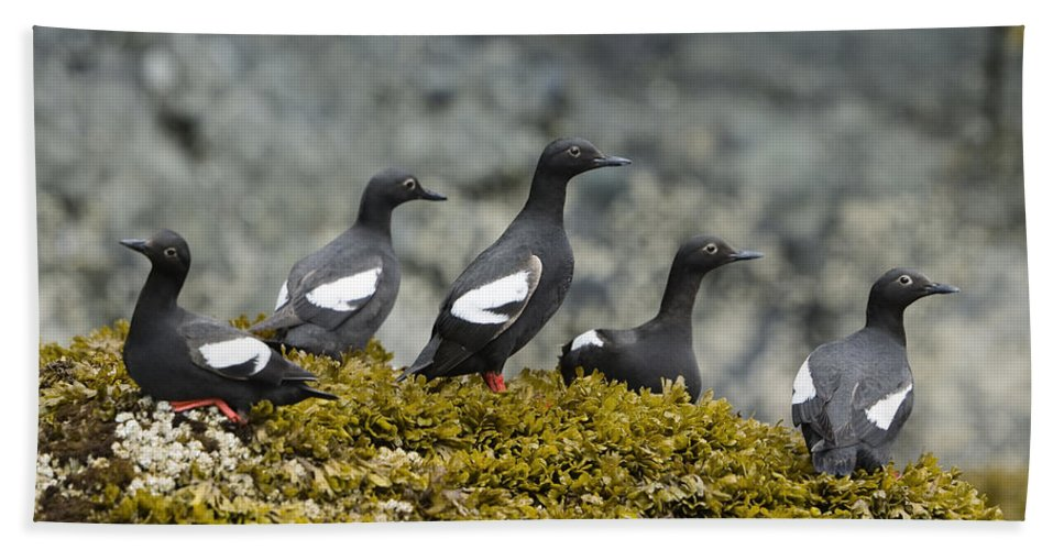 Mp Hand Towel featuring the photograph Pigeon Guillemot Cepphus Columba Group by Konrad Wothe