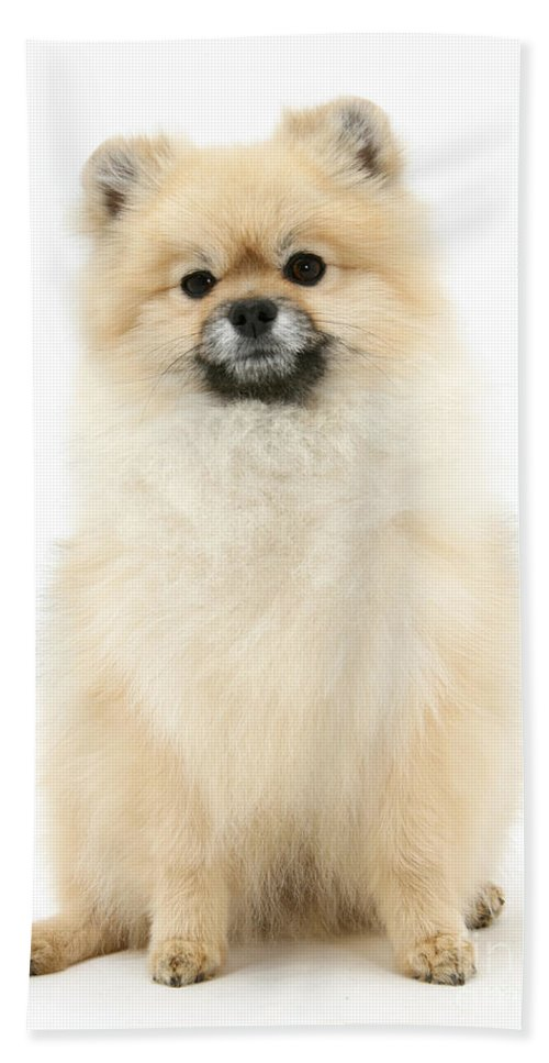 Animal Hand Towel featuring the photograph Pomeranian Dog by Mark Taylor