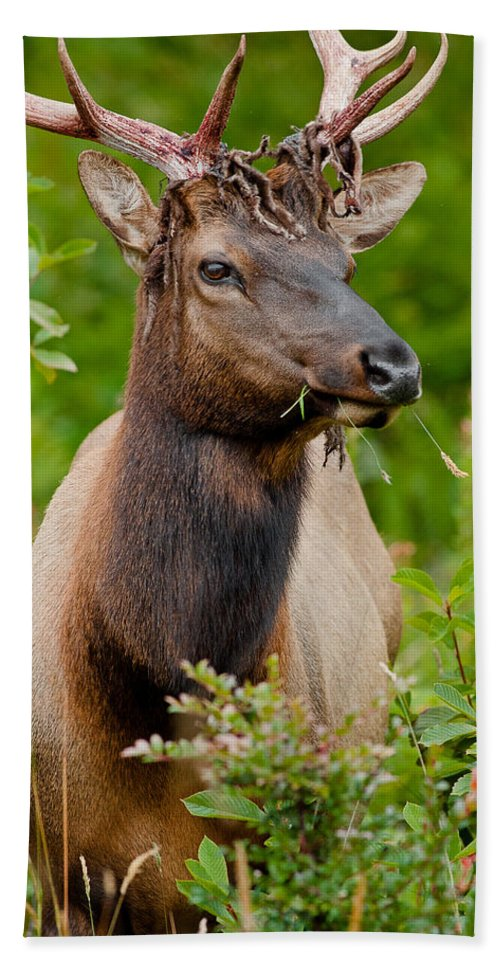 Wildlife Hand Towel featuring the photograph Portrait Of A Bull Elk by Greg Nyquist