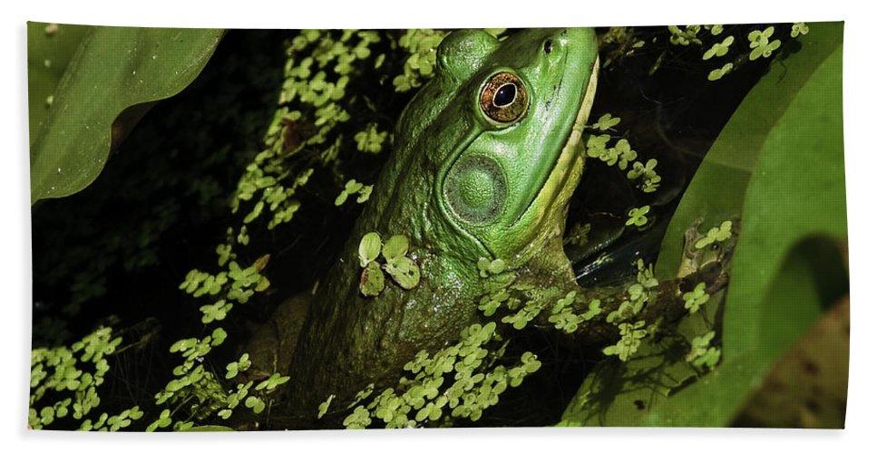 Kenilworth Aquatic Park Hand Towel featuring the photograph Rana Clamitans Or Green Frog by Perla Copernik