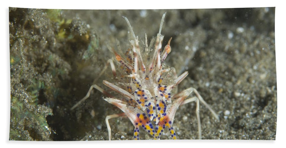 Kimbe Bay Bath Sheet featuring the photograph Rare Tiger Shrimp On Volcanic Sand by Steve Jones