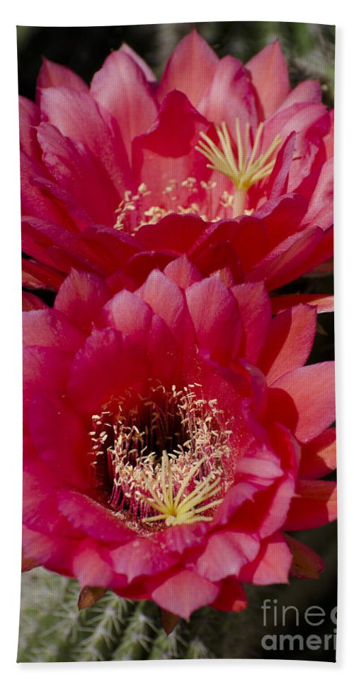 Cactus Hand Towel featuring the photograph Red Cactus Flowers by Jim And Emily Bush