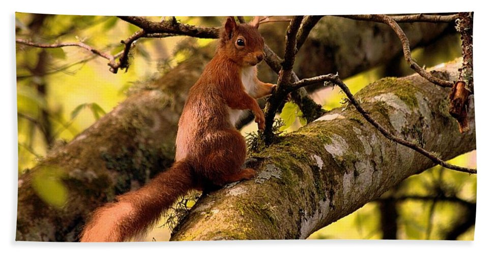 Red Squirrel Hand Towel featuring the photograph Red Squirrel by Gavin Macrae