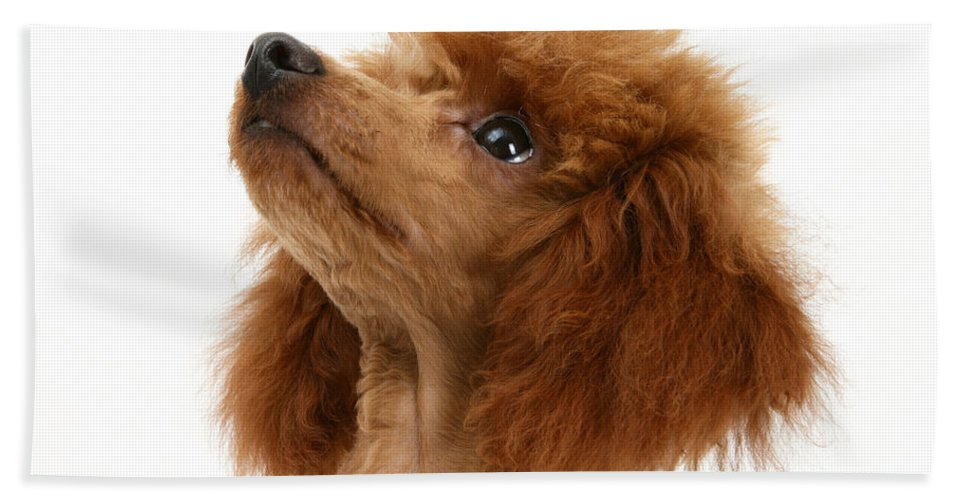 Animal Hand Towel featuring the photograph Red Toy Poodle by Mark Taylor