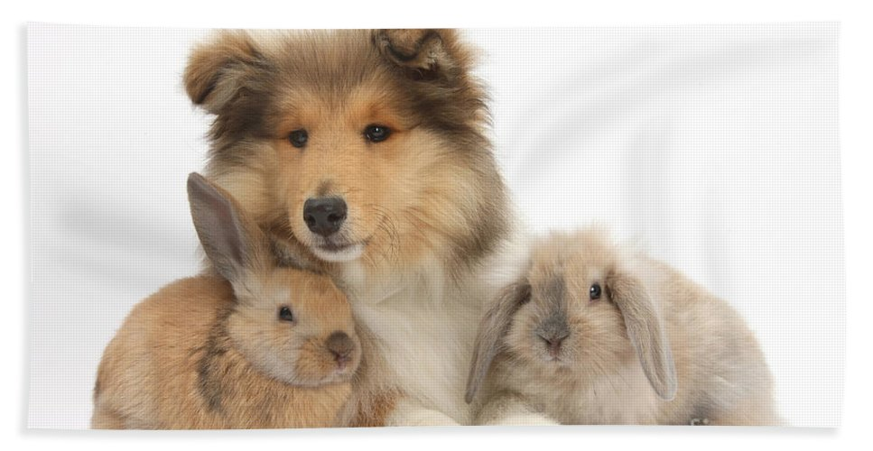 Nature Hand Towel featuring the photograph Rough Collie Pup With Two Young Rabbits by Mark Taylor