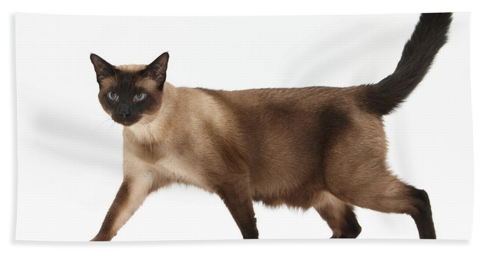 Siamese Hand Towel featuring the photograph Seal Point Siamese Cat by Mark Taylor
