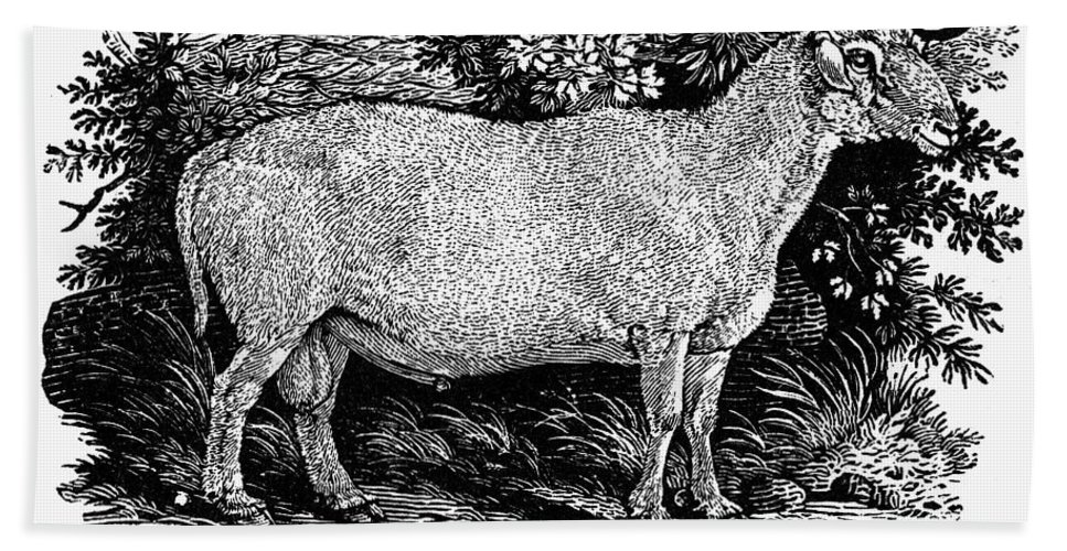 1800 Hand Towel featuring the photograph Sheep, C1800 by Granger