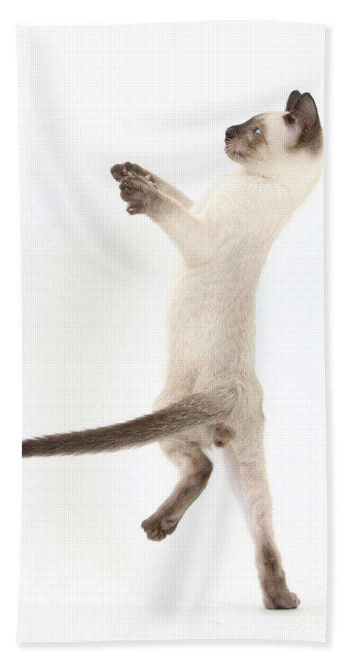 Siamese Hand Towel featuring the photograph Siamese Kitten by Mark Taylor