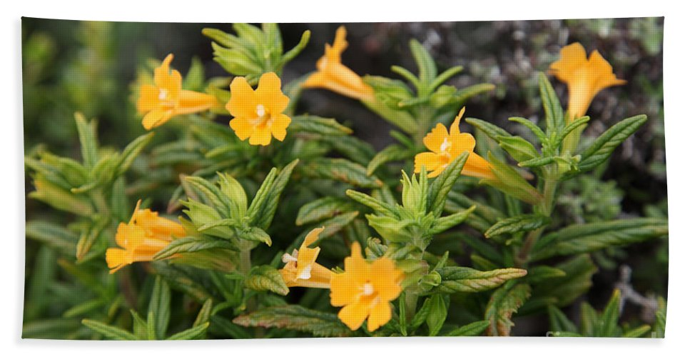 Bush Monkey Flower Hand Towel featuring the photograph Sticky Monkey Flower by Ted Kinsman