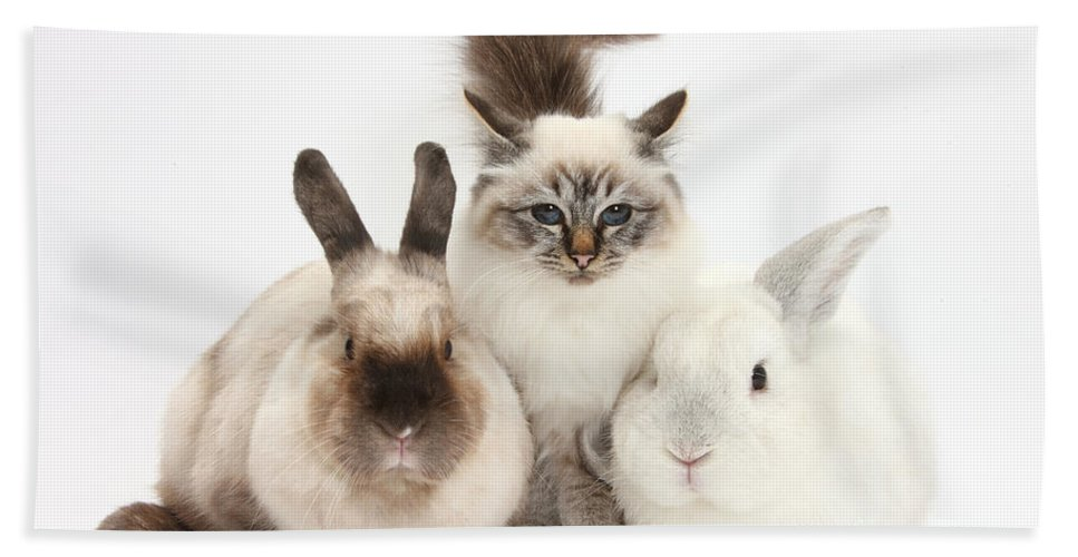 Nature Hand Towel featuring the photograph Tabby-point Birman Cat And Rabbits by Mark Taylor
